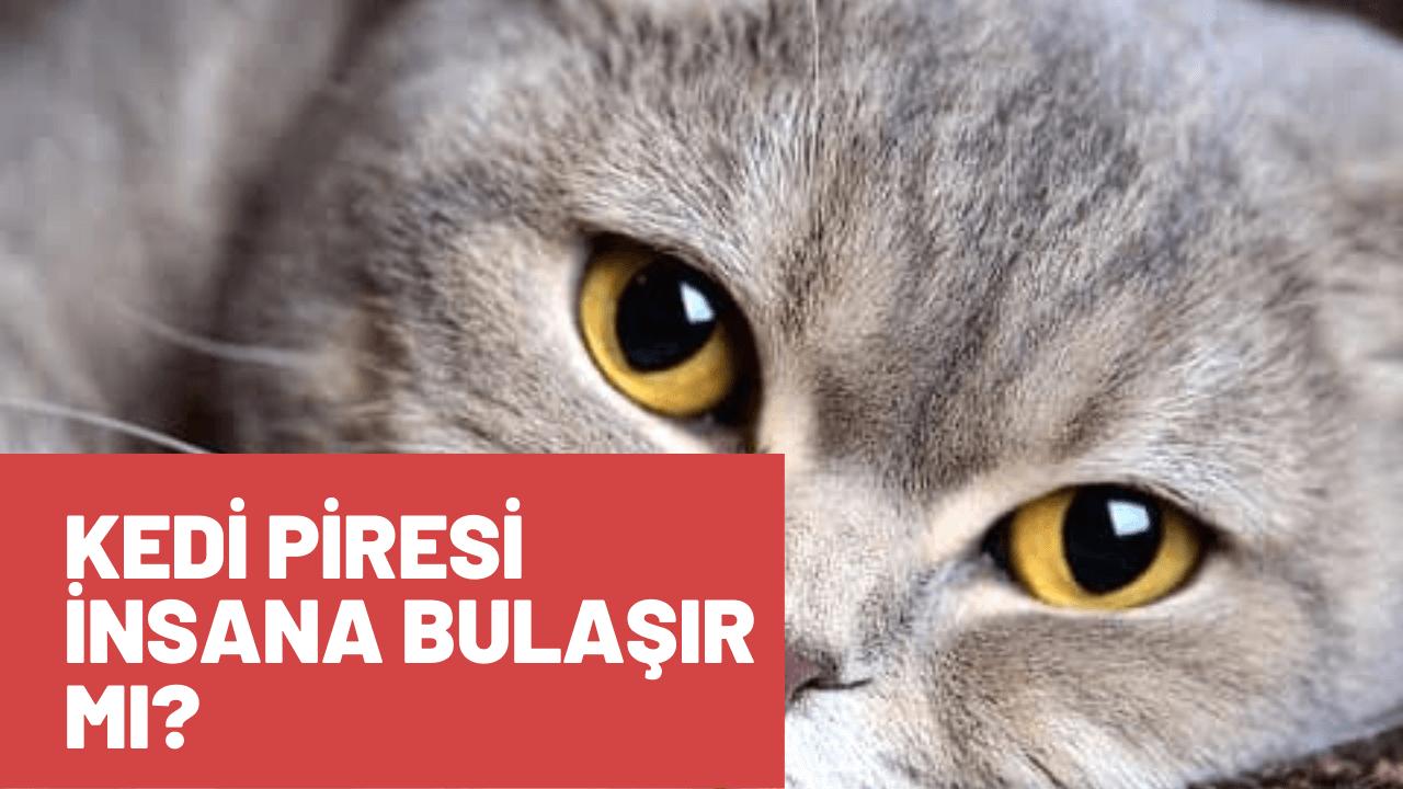 Kedi Piresi İnsanlara Bulaşır mı?